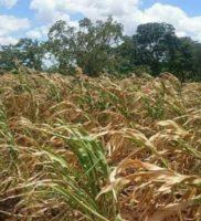 Malawi Food Crisis